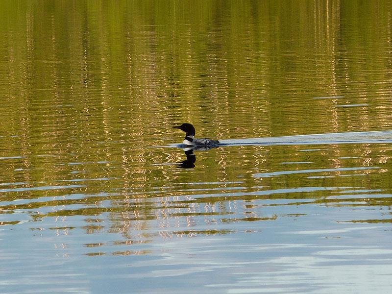 Boundary Waters Canoe Area: Loon